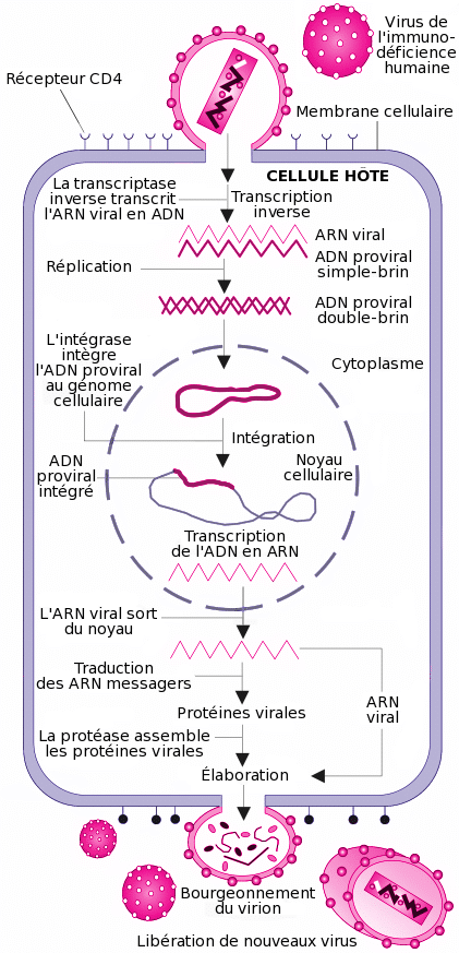 Cycle de réplication dans la cellule du VIH
